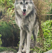 Beautiful Gray Wolf Art Print