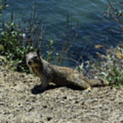 Beautiful Ground Squirrel Standing At The Edge Of The Coast Art Print