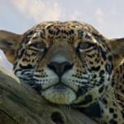 Beautiful Jaguar Art Print