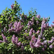 Beautiful Lilacs Day Art Print