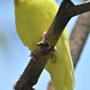 Beautiful Little Yellow Budgie Bird In Nature Art Print
