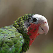 Beautiful Look At At The Profile Of A Conure Parrot Art Print