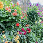 Beautiful Lot Of Dahlias,butchart Gardens,victoria,canada Art Print