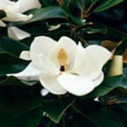 Beautiful Magnolia  Art Print