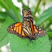 Beautiful Monarchs Art Print