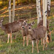 Beautiful Mule Deer Herd Art Print
