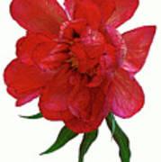 Beautiful Peony Flower. Art Print
