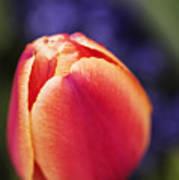 Beautiful Red And Orange Colored Tulip  Art Print