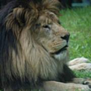 Beautiful Resting Lion In Tall Green Grass Art Print
