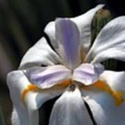 Beautiful White Day Lily Art Print