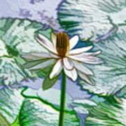 Beautiful White Water Lilies Flower Art Print