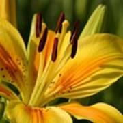 Beautiful Yellow Lily Art Print