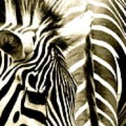 Beautiful Zebras Art Print