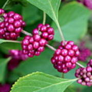 Beautyberry Bush Art Print