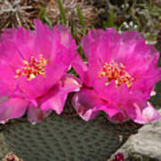 Beavertail Cactus Flowers Art Print