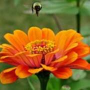 Bee Above Orange Zinnia Art Print
