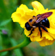 Bee And Marigold Art Print