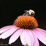 Bee Coneflower Art Print