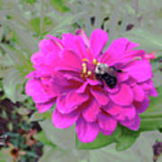 Bee Feeding From Pink Zinnia Art Print