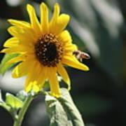 Bee Flying To Bright Lemon Yellow Wild Sunflower In High California Sun Art Print
