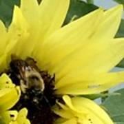 Bee In Sunflower Art Print