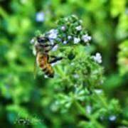 Bee Is In The Oregano Art Print