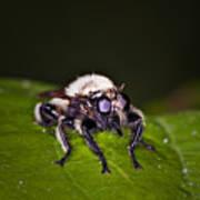 Bee Killer Fly Art Print