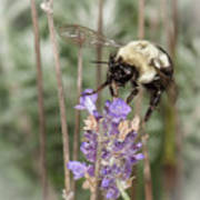 Bee Lands On Lavender Art Print