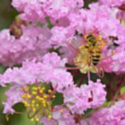 Bee On A Crepe Myrtle Flower Art Print