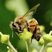 Bee On A Flower Art Print
