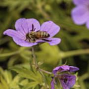 Bee On A Purple Flower Art Print
