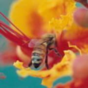 Bee On Bird Of Paradise 100 Art Print by Diane Backs-Mancuso