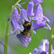 Bee On Bluebell Art Print