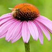Bee On Cone Flower Art Print