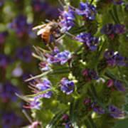 Bee On Echium Art Print