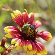 Bee On Gaillardia Art Print
