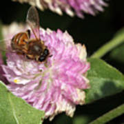 Bee On Gomphrena Art Print