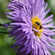 Bee On Purple Daisy Art Print
