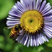 Bee On Purple Petals Art Print