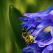 Bee On The Hyacinth Art Print