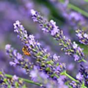 Bee On The Lavender Art Print