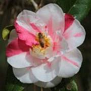Bee On White And Pink Camellia Art Print