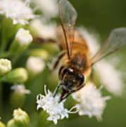 Bee On White Art Print