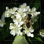 Bee On White Flowers 2 Art Print