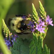 Bee On Wildflower Art Print