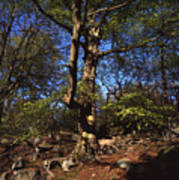 Beech Trees Coming Into Leaf  In Spring Padley Wood Padley Gorge Grindleford Derbyshire England Art Print