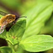 Beefly Art Print
