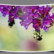 Bees On Butterfly Bush Framed Art Print