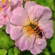 Beetle In A Rose 003 Art Print