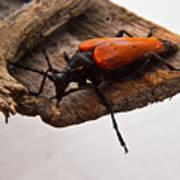 Beetle Pondering Art Print